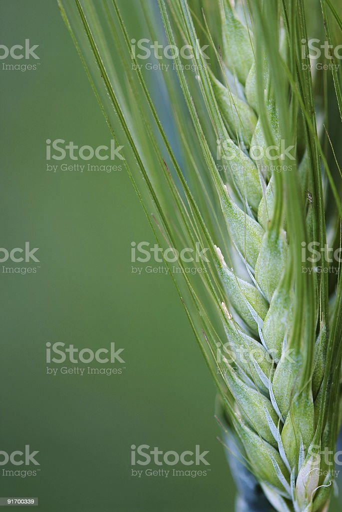 spikelet of wheat or rye royalty-free stock photo