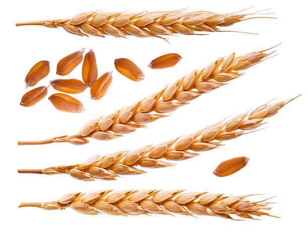 Spikelets and wheat seeds isolated on white Spikelets and wheat seeds isolated on white ear of wheat stock pictures, royalty-free photos & images