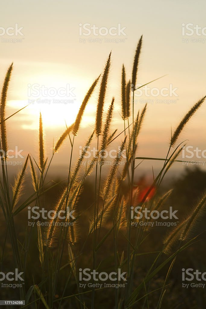 spikelets at dawn royalty-free stock photo