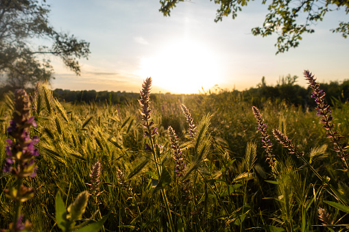 Spikelets grass and blooming salvia (sage) field. Summer meadow at sunset. Wild flowers and wheat  in the bright rays.