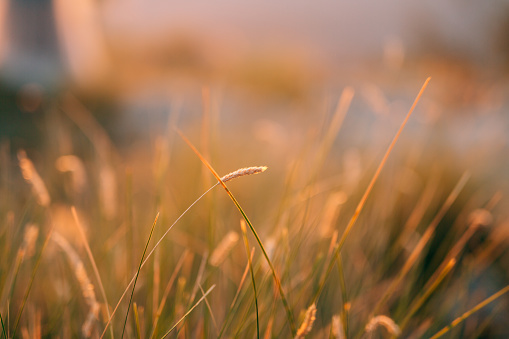Spikelets in the field at sunset. The texture of grass at sunset