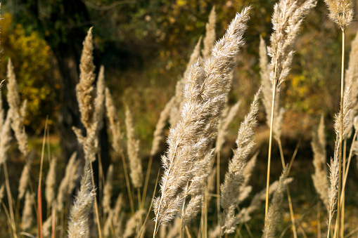 spikelets of dry, autumn grass