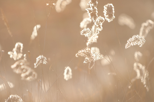 Spikelets of last year's dry grass in the spring April forest at sunset. Backlit sunlight