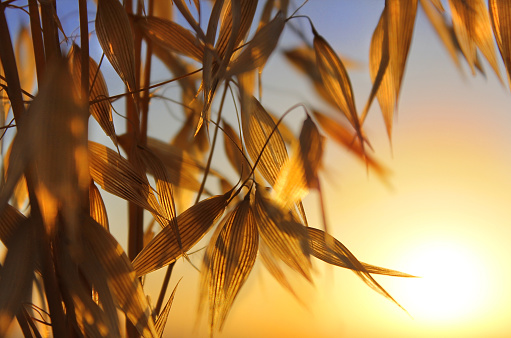 spikelets of oats at sunset