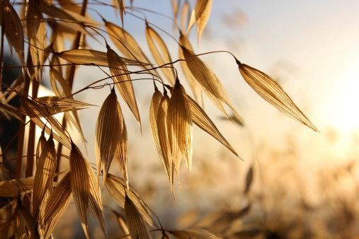 spikelets of oats
