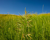 Spikelets of plants on the background of meadows and blue sky on a sunny day. Spring season in the countryside.