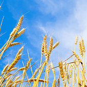 Spikelets of wheat against the blue sky. Mature wheat