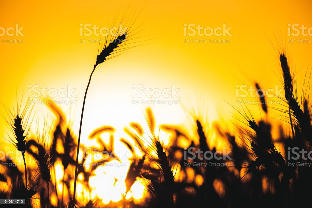 Spikelets of wheat close up on a background sunset. - foto stock
