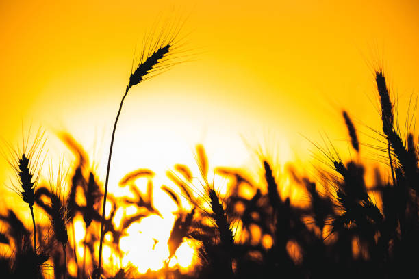 Spikelets of wheat close up on a background sunset. – Foto