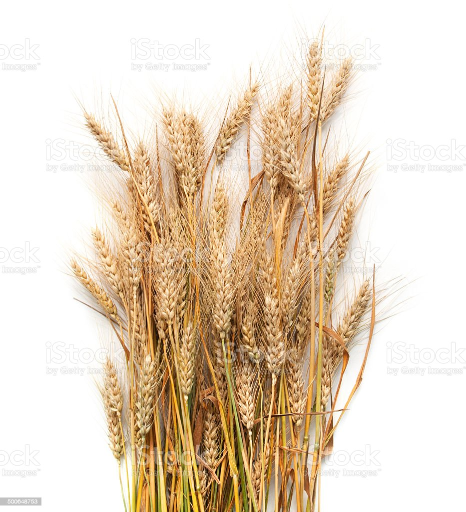 Spikelets of wheat  isolated on white background stock photo