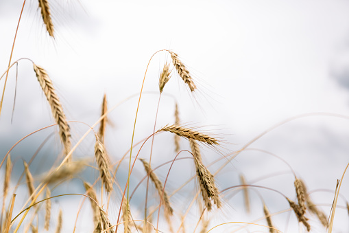 Spikelets of wheat shot close-up on the background of the sky. Rip crop, summer harvest time. Nature art wallpaper. The main golden food resourcer of the humans. Future bread. Banner.