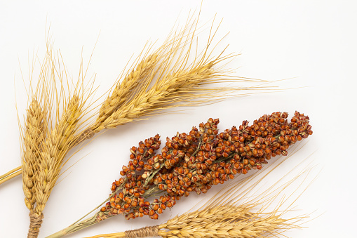 Spikelets of yellow wheat and  twig of red sorghum