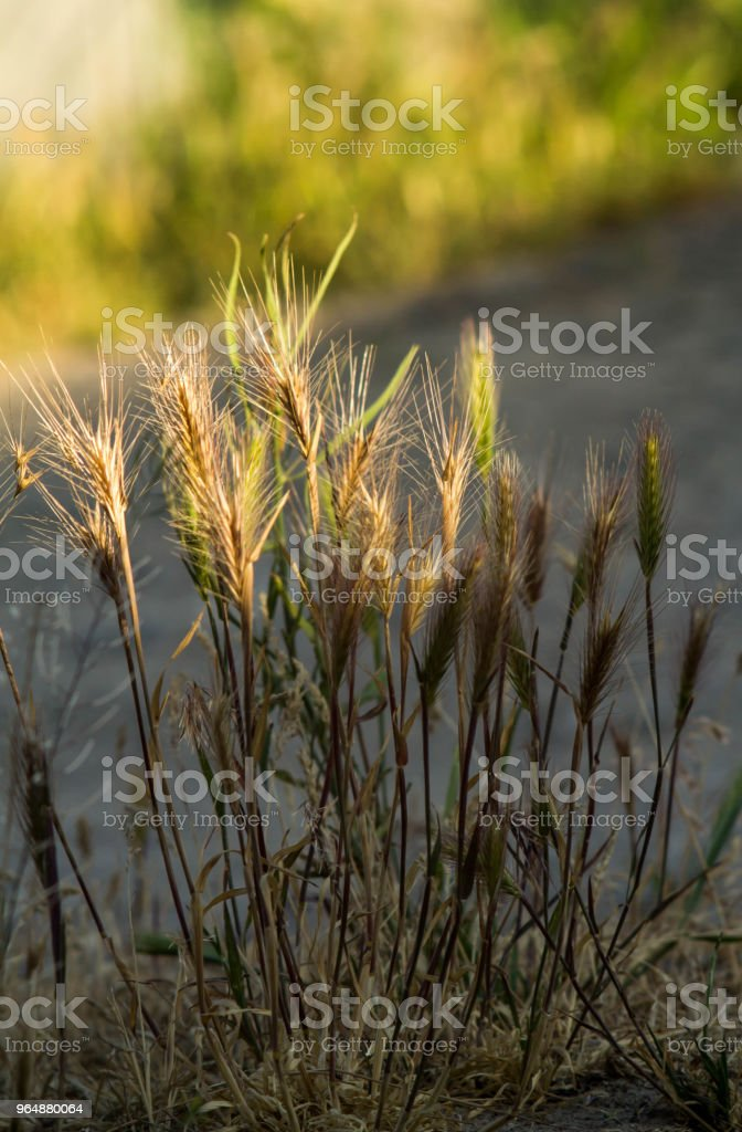 Spikelets of young wheat close-up. ears of green unripe wheat royalty-free stock photo