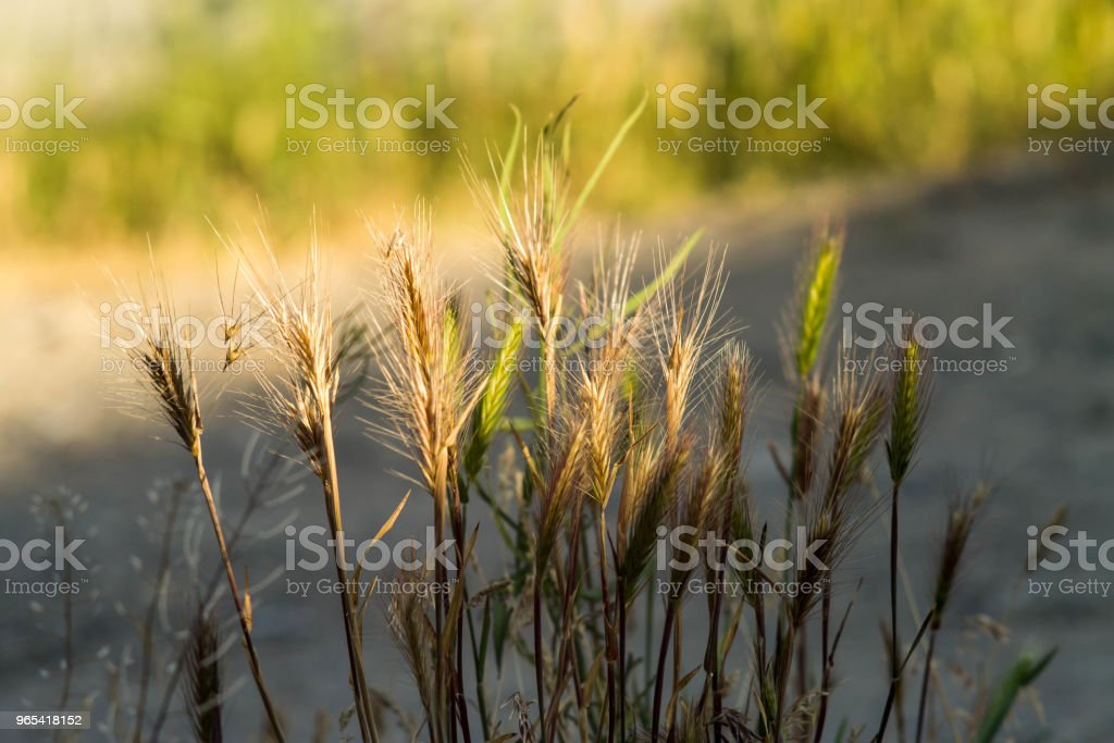 Spikelets of young wheat close-up. ears of green unripe wheat zbiór zdjęć royalty-free