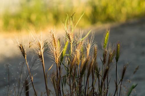 젊은 밀 클로즈업의 Spikelets입니다 녹색 익 지 않는 밀의 귀 0명에 대한 스톡 사진 및 기타 이미지