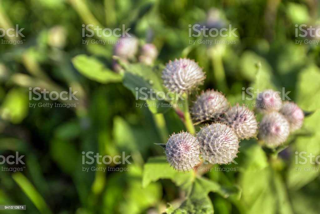 Spikes burdock macro close-up small depth of field. stock photo