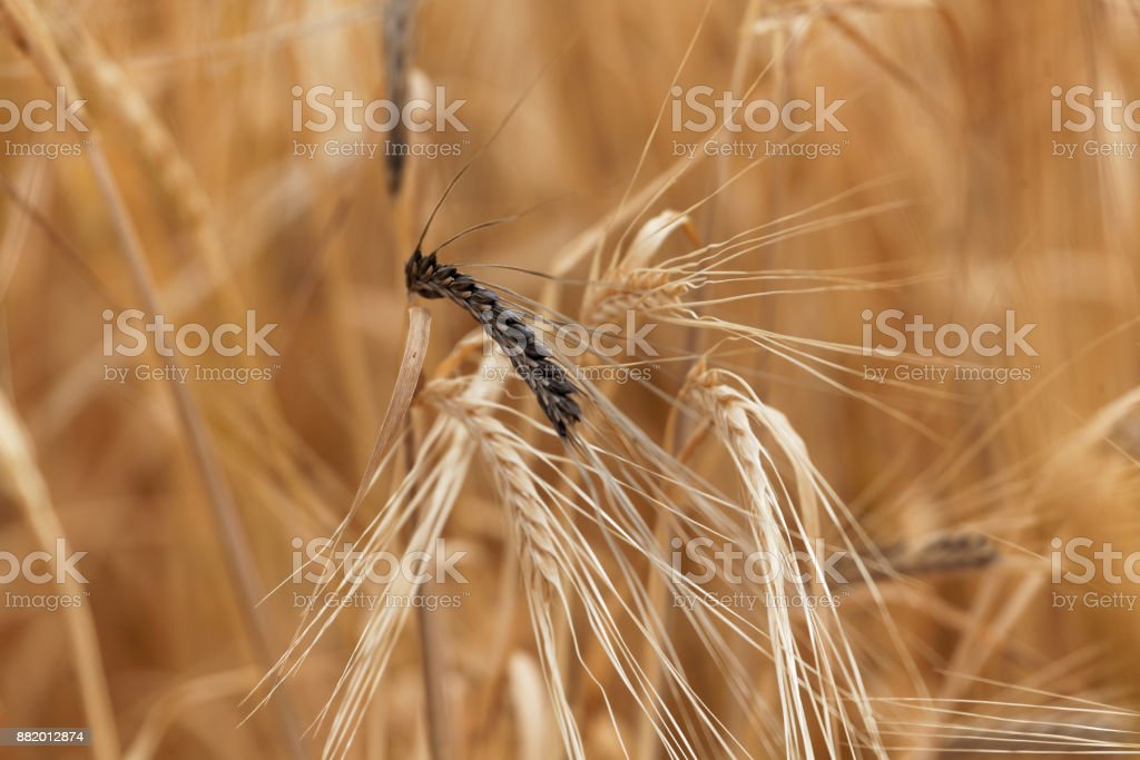 Spikes of barley with Covered smut stock photo