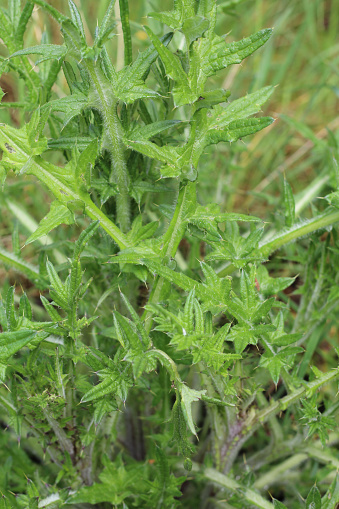Sharp green nettles growing in a woodlands.