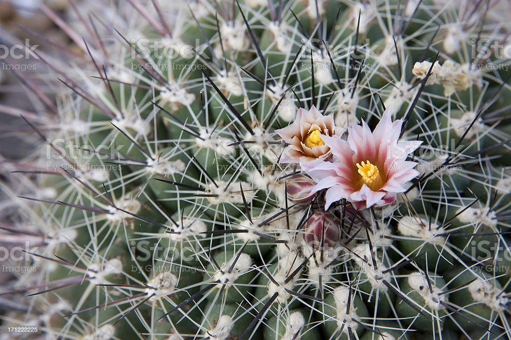 Spikey Cactus Flower royalty-free stock photo