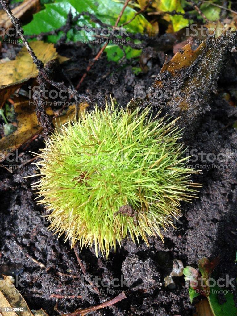 Spikey chestnut shell stock photo