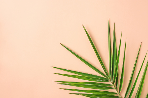 Spiky Feathery Green Palm Leaf on Pink Peachy Wall Background. Room Plant Interior Decoration Organic Cosmetics Spa Wellness Fashion Concept. Pastel Colors. Flat Lay Copy Space