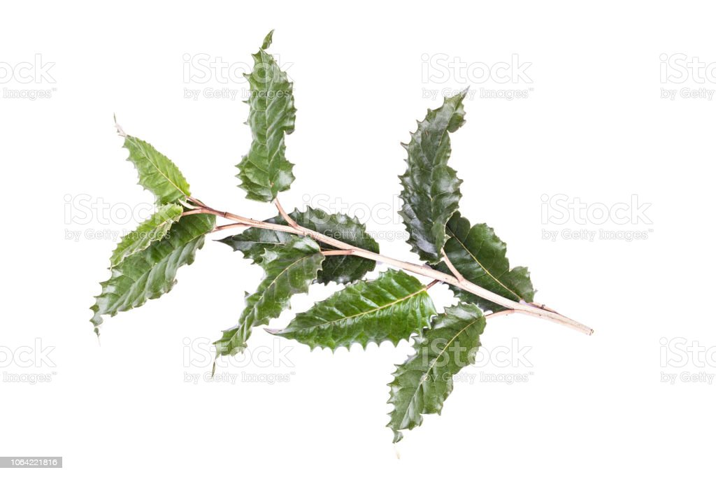 Spiky holly leaves, isolated on white stock photo