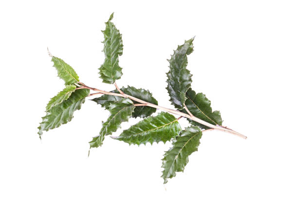 spiky holly leaves, isolated on white - christmas stock photos and pictures