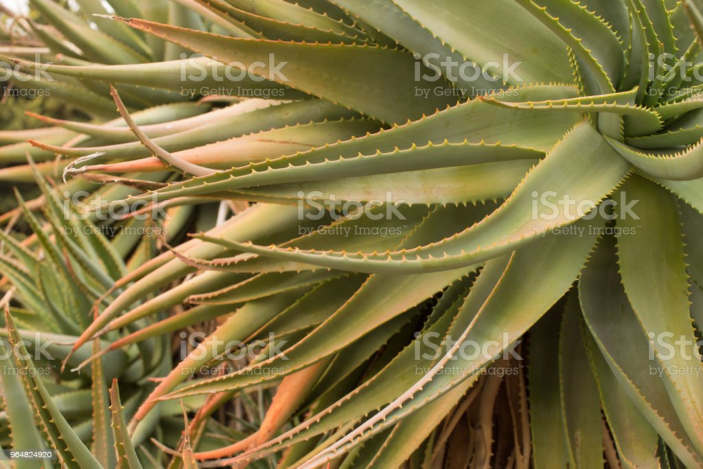 Spiky leaves of a green succulent plant royalty-free stock photo