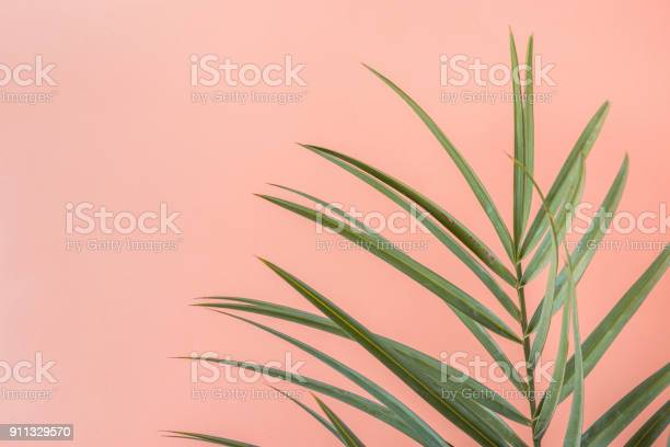 Spiky palm tree leaf on pink peachy wall background room plant picture id911329570?b=1&k=6&m=911329570&s=612x612&h=tyqqb803zkno jrm7otvob2 m4uc0n8vfi6cgfdx 2m=