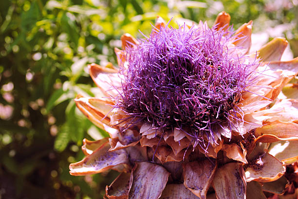 Spiky Purple Desert Shrub Bloom Spiky Purple Desert Shrub Bloom neilliebert stock pictures, royalty-free photos & images