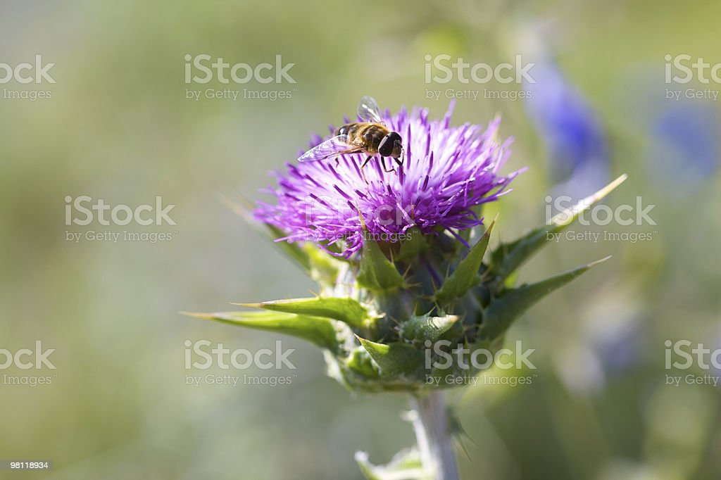 Spiky Purple Thistle and Hover Fly royalty-free stock photo