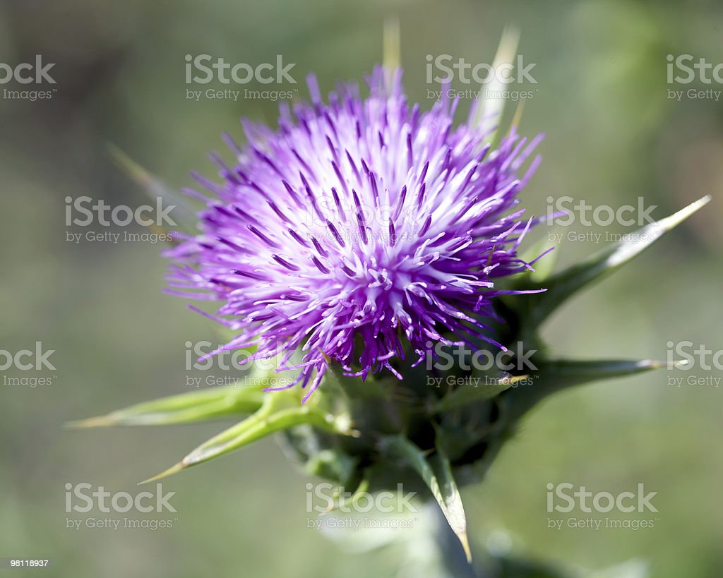 Spiky Purple Thistle royalty-free stock photo