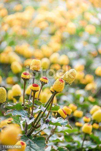 Fresh flowering para cress plant, Spilanthes oleracea, soft focus, unfocused blurred spilanthes