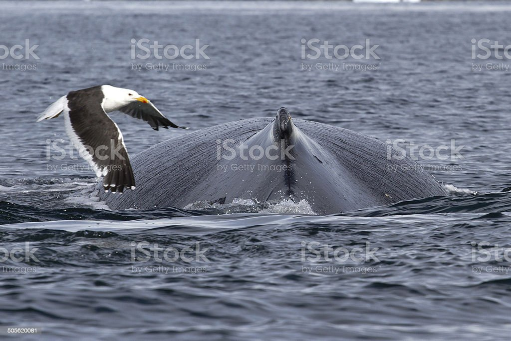 spin and fin whale humpback over which fly kelp gull stock photo