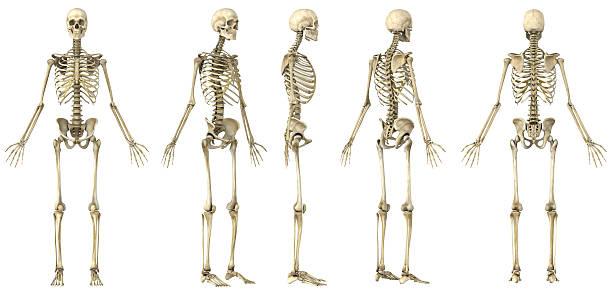 spin of a human skeleton - human skeleton stock photos and pictures