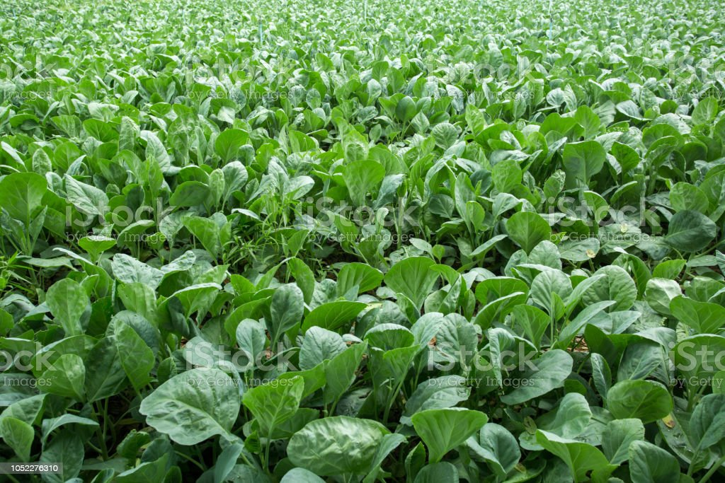 Spinach field stock photo