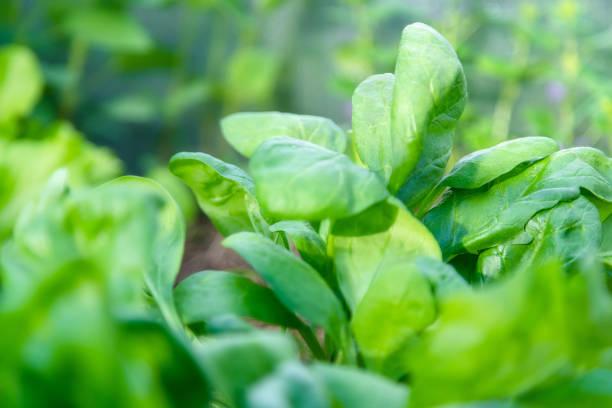 Spinat aus kompostierte Boden in einem Hausgarten wächst. Städtische Landwirtschaft – Foto