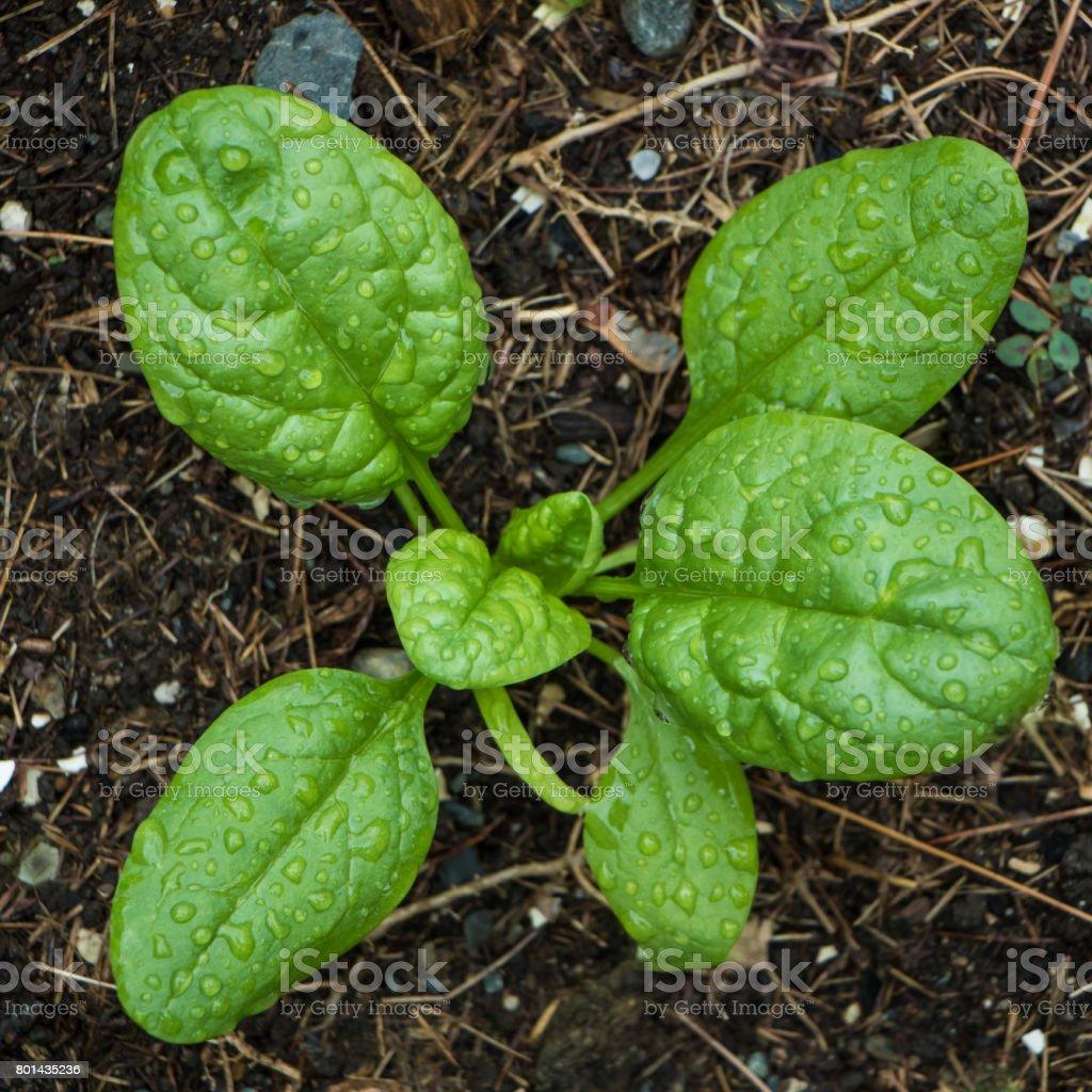 Spinach in Home Garden stock photo