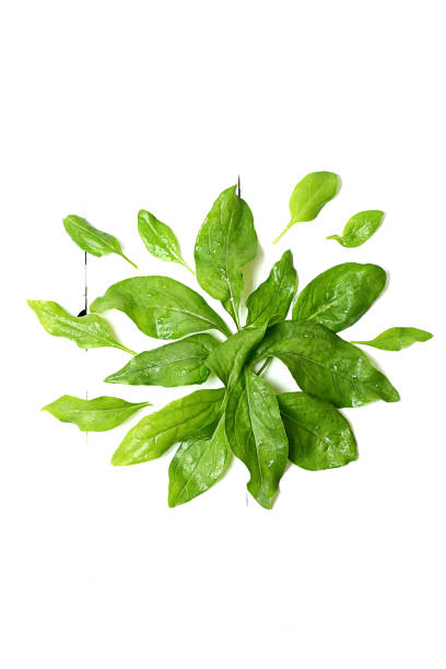 spinach leaves on a white wooden background view from above stock photo