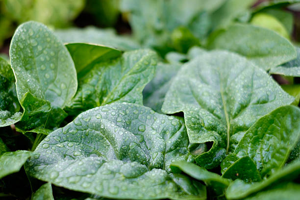 Spinach Spinach plants in a vegetable garden, with water drops apostrophe stock pictures, royalty-free photos & images