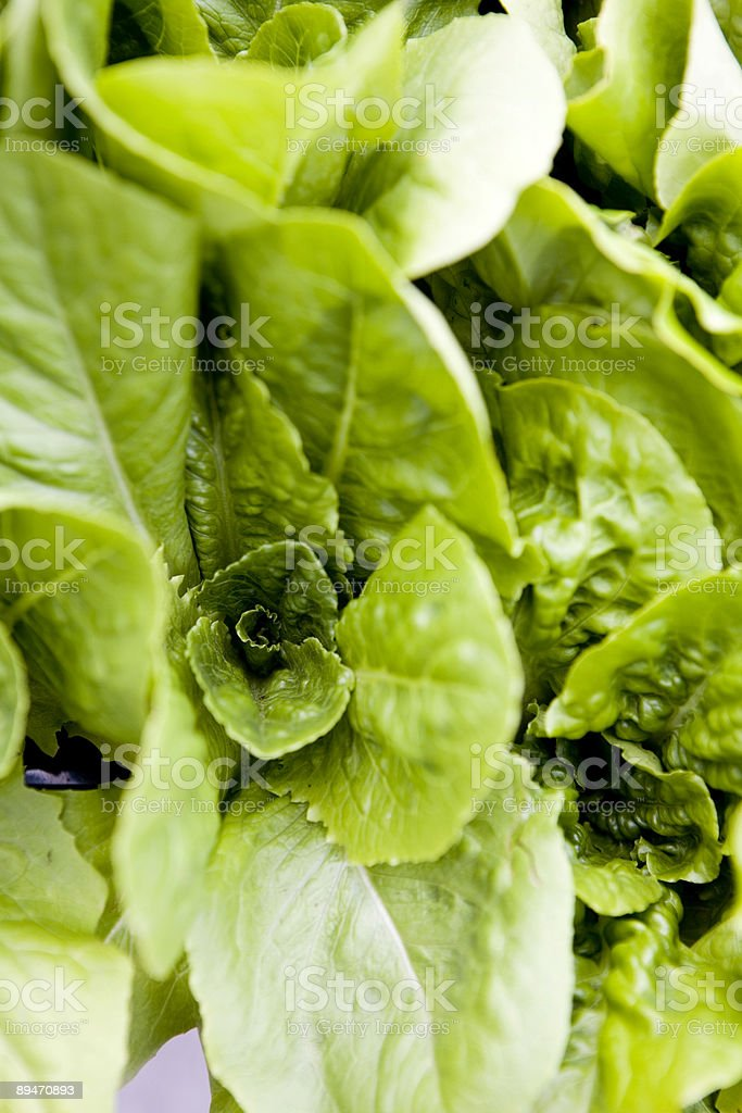 Spinach (Closeup) royalty-free stock photo