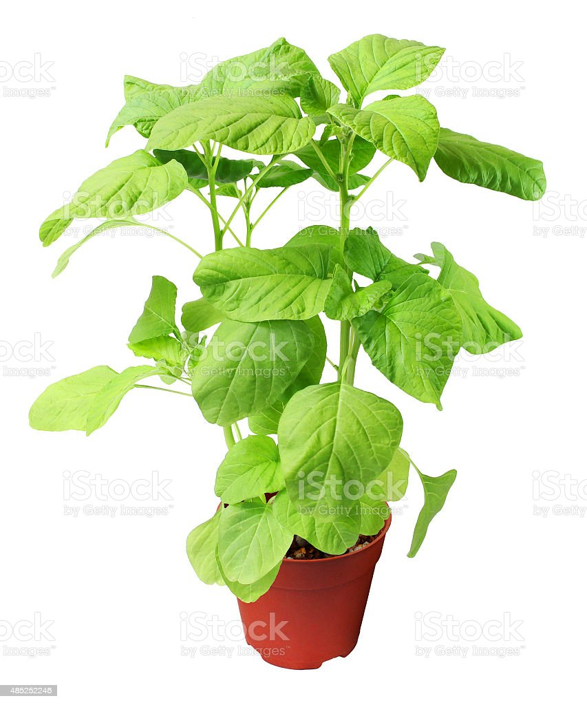 Spinach plant in brown pot isolated. stock photo