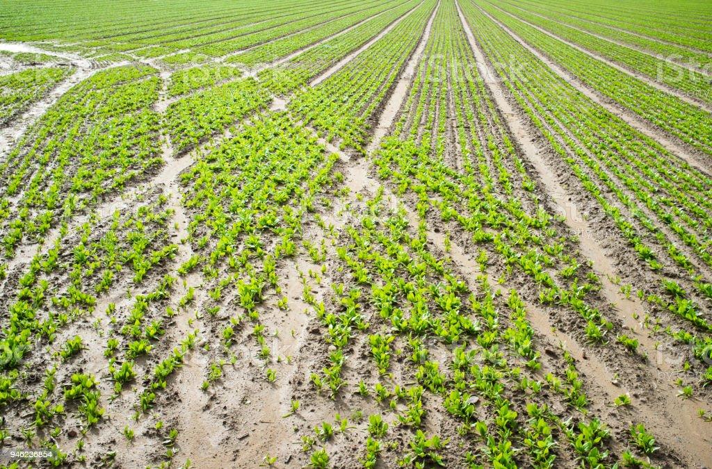 Spinat-Plantage Furchen mit Traktorspuren – Foto