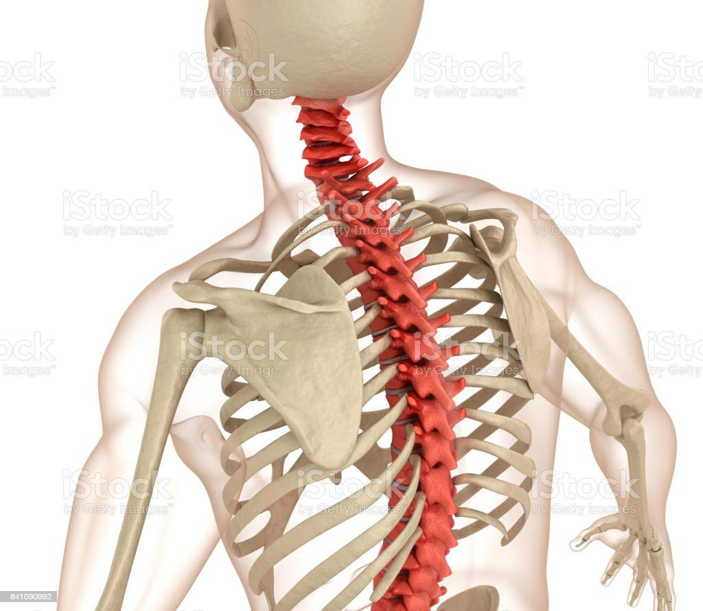 Wirbelsäule Anatomie Medizinisch Genaue 3dillustration Stock ...