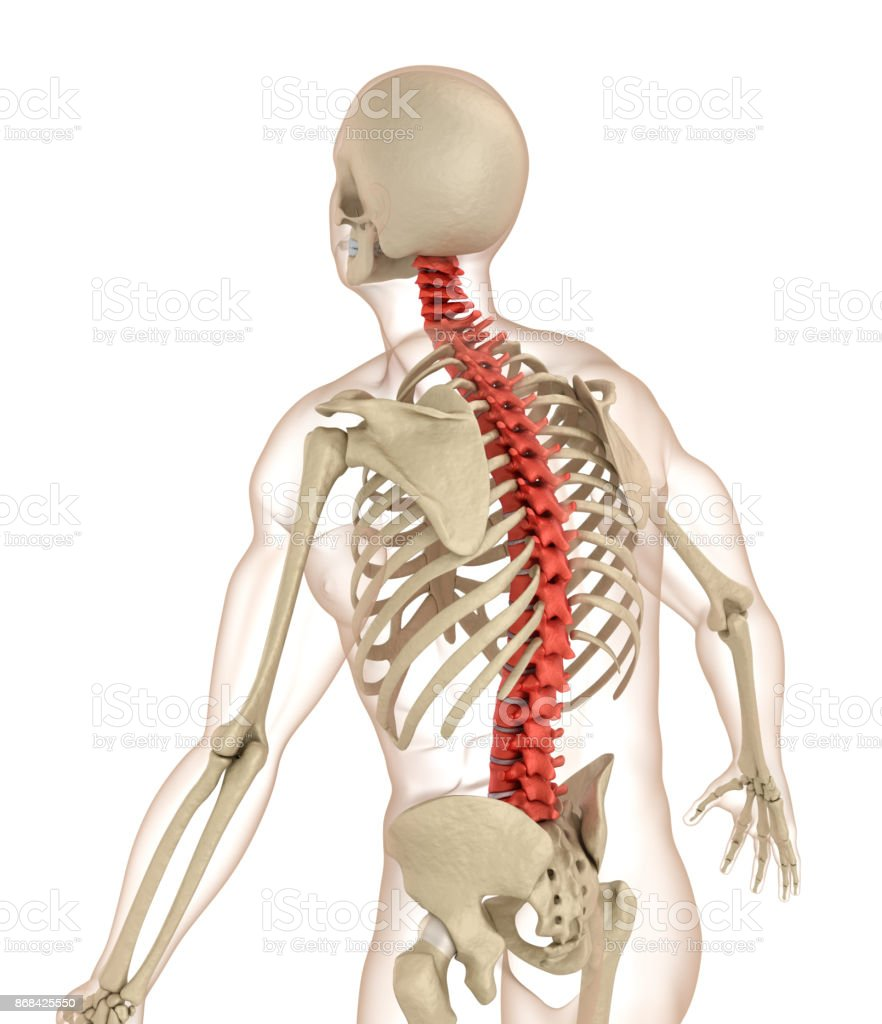 Spinal Anatomy Medically Accurate 3d Illustration Stock Photo & More ...