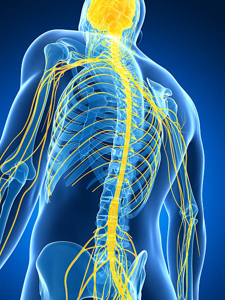 spinal cord and nerves 3d rendered illustration of the male nerve system spine body part stock pictures, royalty-free photos & images