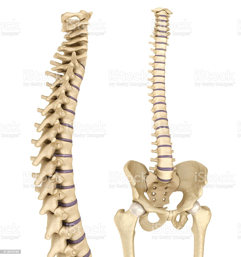 Spinal Cord And Pelvis Medically Accurate 3d Illustration Stock ...