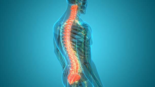 Spinal Cord Vertebral Column of Human Skeleton System Anatomy stock photo