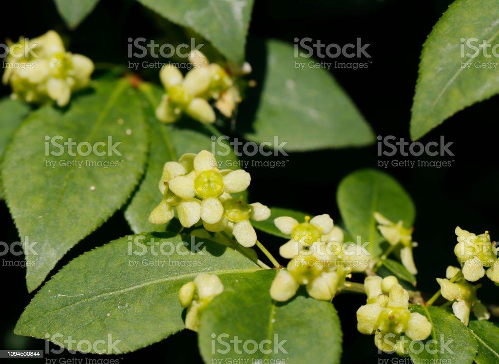 Spindel van bloemen van de boom (Euonymus europaeus) foto