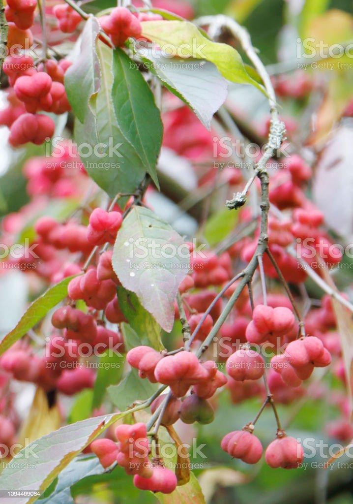 Vruchten van de spindel boom (Euonymus europaeus) foto